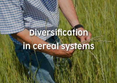 Diversification in cereal systems